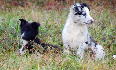 BORDER COLLIE Bioas