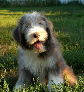 Cachorros de Bearded Collie