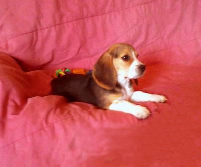 Cachorrinhos Beagles Tricolor