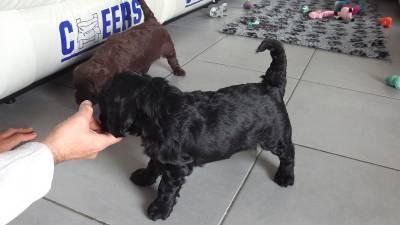 Cão de Água Português com LOP e Afixo