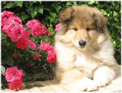 Rough Collie ou Lassie
