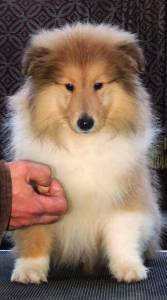 Rough Collie - Lassie