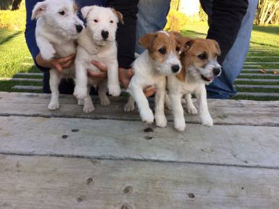 JACK RUSSELL TERRIERS do Vale da Capucha