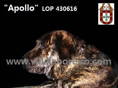 Cão de Castro Laboreiro disponível para cruzas